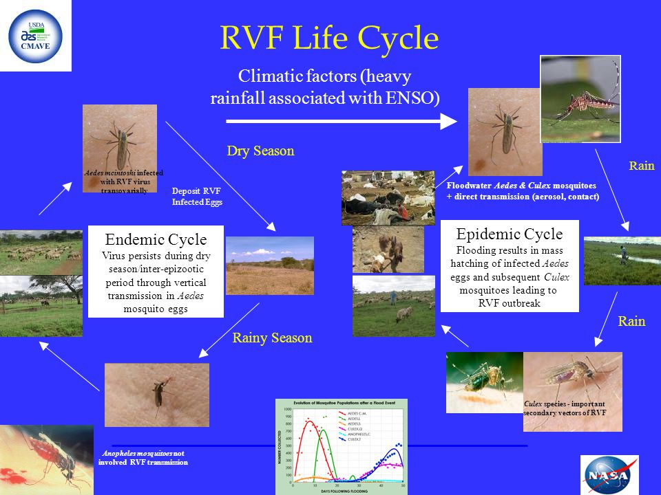 RVF Life Cycle Endemic Cycle Virus persists during dry season/inter-epizootic period through vertical transmission in Aedes mosquito eggs Epidemic Cyc