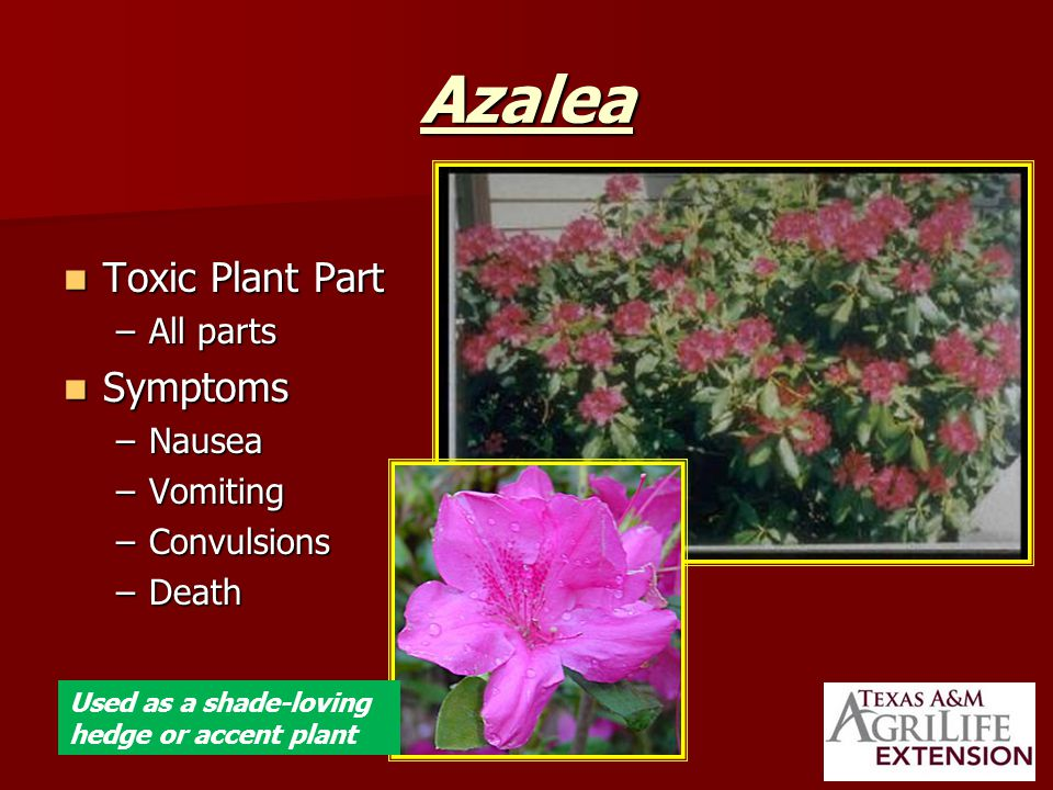 Azalea Toxic Plant Part Toxic Plant Part –All parts Symptoms Symptoms –Nausea –Vomiting –Convulsions –Death Used as a shade-loving hedge or accent plant