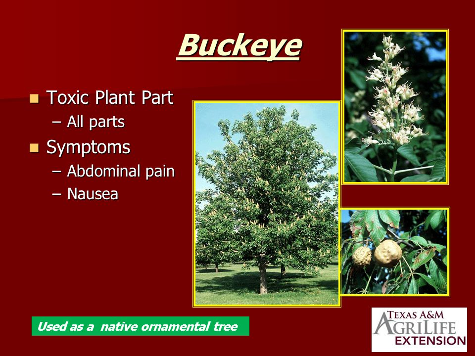 Buckeye Toxic Plant Part Toxic Plant Part –All parts Symptoms Symptoms –Abdominal pain –Nausea Used as a native ornamental tree