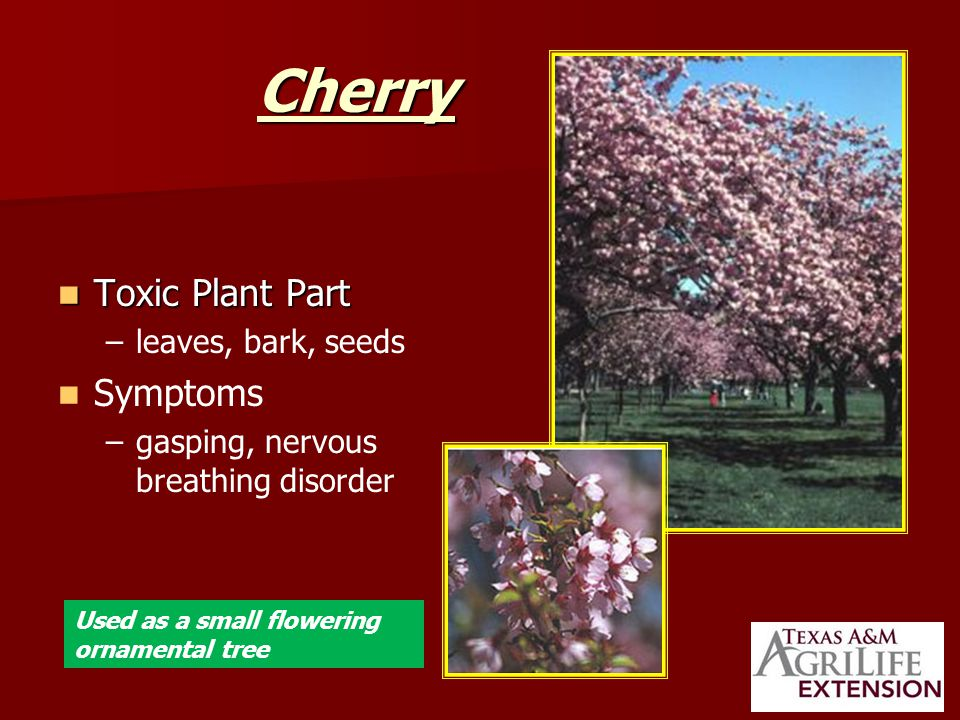 Cherry Toxic Plant Part Toxic Plant Part – –leaves, bark, seeds Symptoms – –gasping, nervous breathing disorder Used as a small flowering ornamental tree