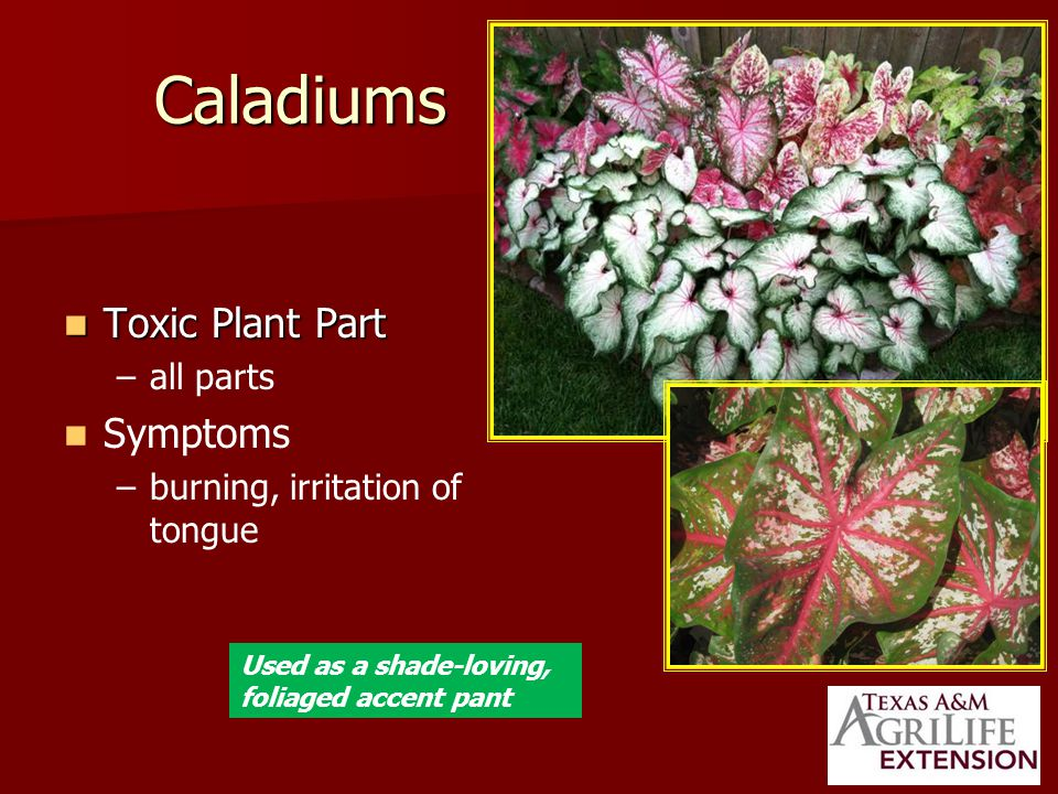 Caladiums Toxic Plant Part Toxic Plant Part – –all parts Symptoms – –burning, irritation of tongue Used as a shade-loving, foliaged accent pant