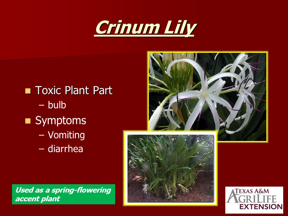 Crinum Lily Toxic Plant Part Toxic Plant Part – –bulb Symptoms – –Vomiting – –diarrhea Used as a spring-flowering accent plant