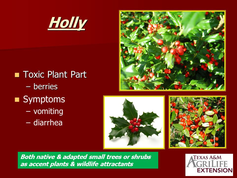 Holly Toxic Plant Part Toxic Plant Part –berries Symptoms – –vomiting – –diarrhea Both native & adapted small trees or shrubs as accent plants & wildlife attractants