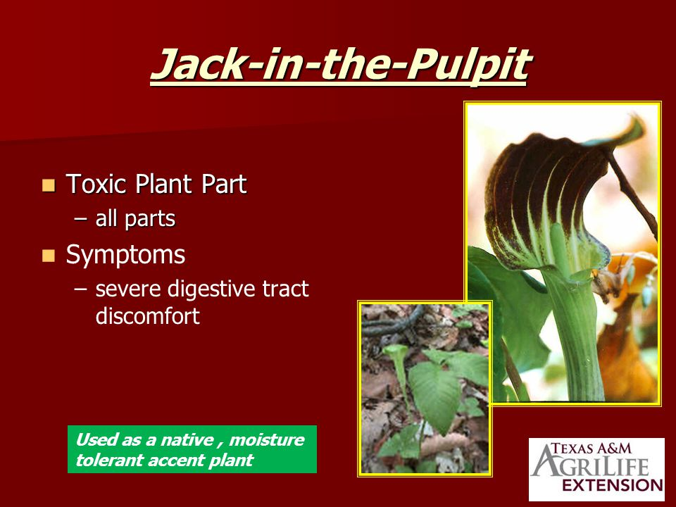 Jack-in-the-Pulpit Toxic Plant Part Toxic Plant Part –all parts Symptoms – –severe digestive tract discomfort Used as a native, moisture tolerant accent plant