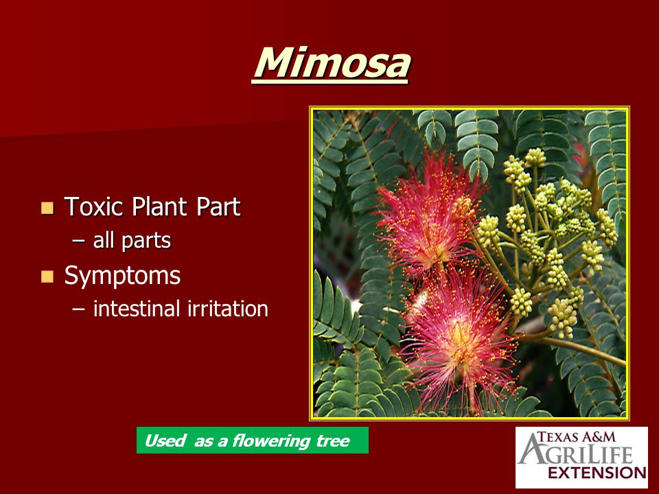 Mimosa Toxic Plant Part Toxic Plant Part –all parts Symptoms – –intestinal irritation Used as a flowering tree