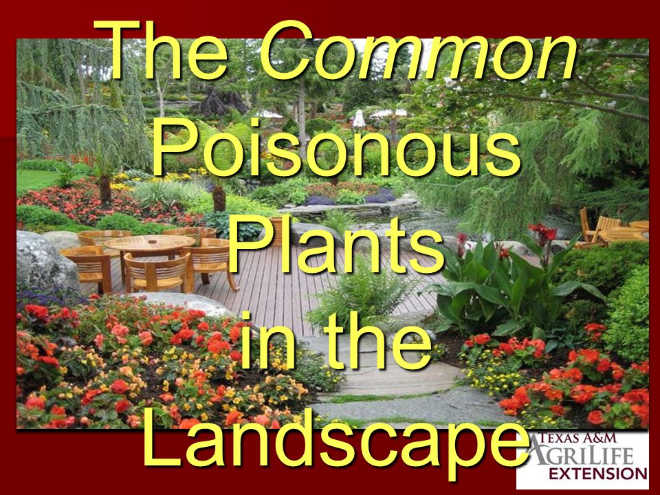 Elderberry Toxic Plant Part Toxic Plant Part – –All vegetative parts Symptoms – –Nausea – –Vomiting – –Nausea – –vomiting Used as a native plant under tree lines
