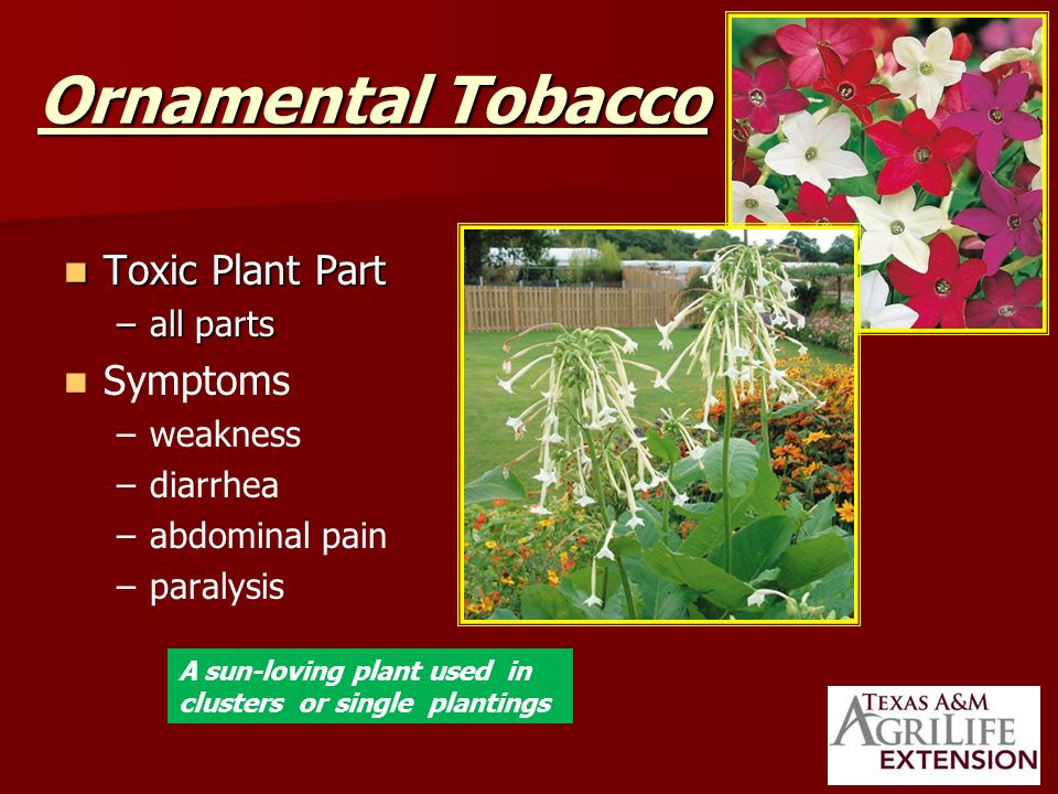 Ornamental Tobacco Toxic Plant Part Toxic Plant Part –all parts Symptoms – –weakness – –diarrhea – –abdominal pain – –paralysis A sun-loving plant used in clusters or single plantings