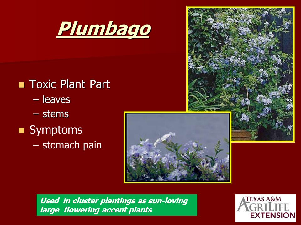 Plumbago Toxic Plant Part Toxic Plant Part –leaves –stems Symptoms – –stomach pain Used in cluster plantings as sun-loving large flowering accent plants