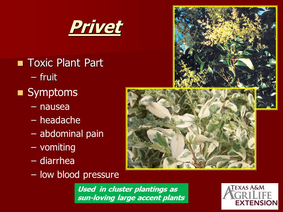Privet Toxic Plant Part Toxic Plant Part –fruit Symptoms – –nausea – –headache – –abdominal pain – –vomiting – –diarrhea – –low blood pressure Used in cluster plantings as sun-loving large accent plants