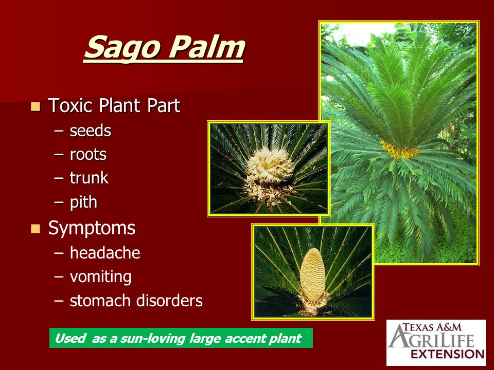 Sago Palm Toxic Plant Part Toxic Plant Part –seeds –roots –trunk –pith Symptoms – –headache – –vomiting – –stomach disorders Used as a sun-loving large accent plant