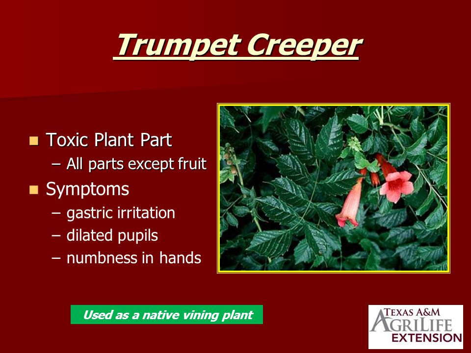 Trumpet Creeper Toxic Plant Part Toxic Plant Part –All parts except fruit Symptoms – –gastric irritation – –dilated pupils – –numbness in hands Used as a native vining plant