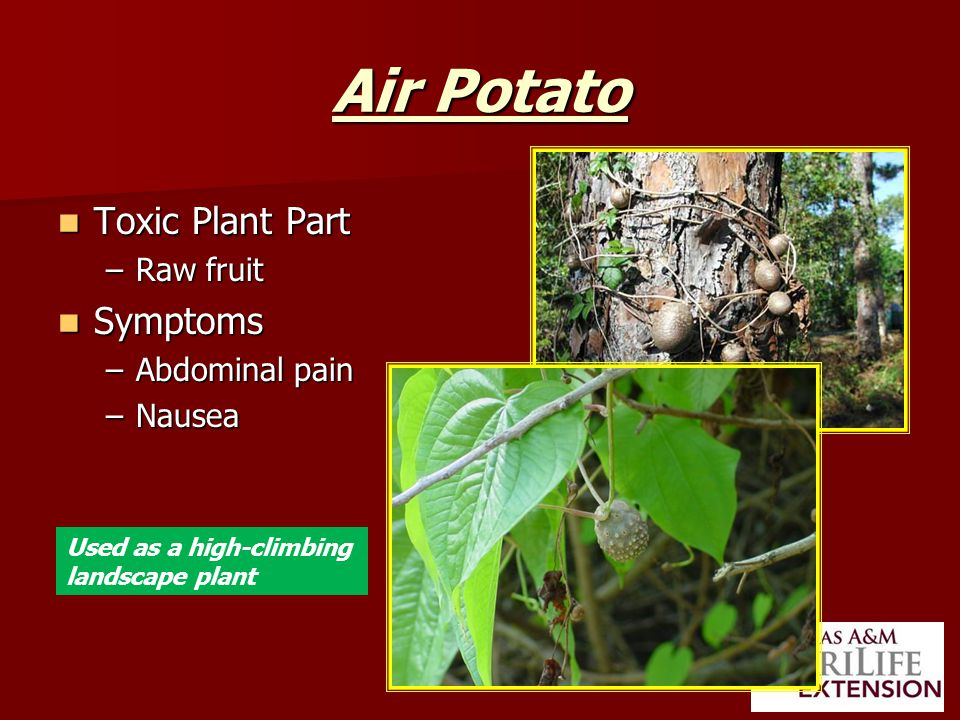 Air Potato Toxic Plant Part Toxic Plant Part –Raw fruit Symptoms Symptoms –Abdominal pain –Nausea Used as a high-climbing landscape plant