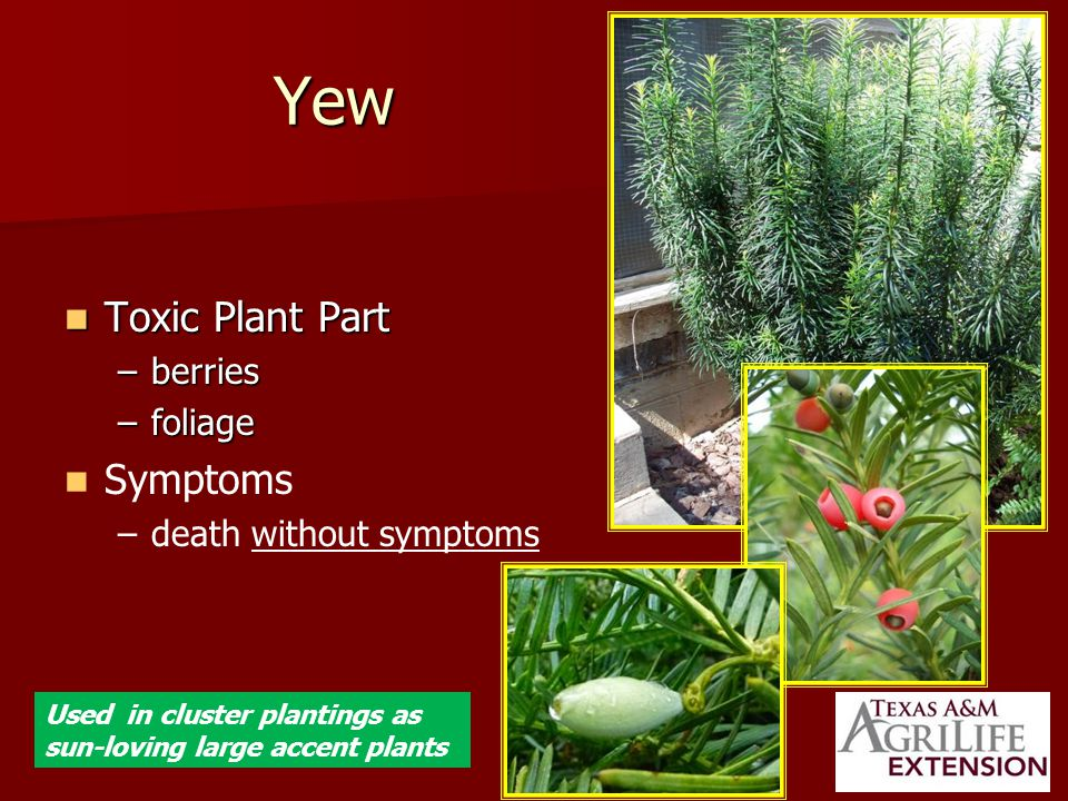 Yew Toxic Plant Part Toxic Plant Part –berries –foliage Symptoms – –death without symptoms Used in cluster plantings as sun-loving large accent plants