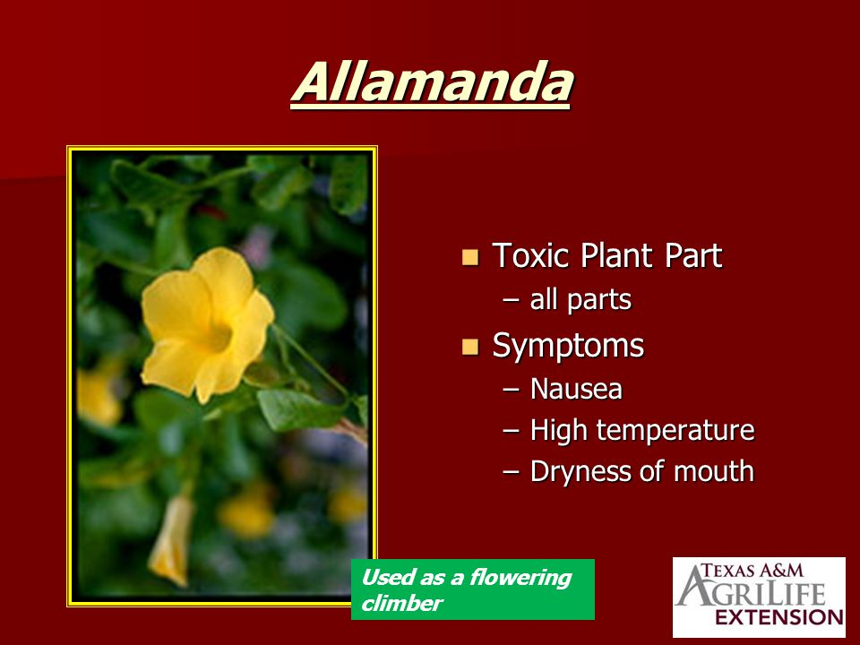 Allamanda Toxic Plant Part Toxic Plant Part –all parts Symptoms Symptoms –Nausea –High temperature –Dryness of mouth Used as a flowering climber