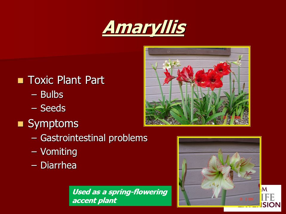 Amaryllis Toxic Plant Part Toxic Plant Part –Bulbs –Seeds Symptoms Symptoms –Gastrointestinal problems –Vomiting –Diarrhea Used as a spring-flowering accent plant