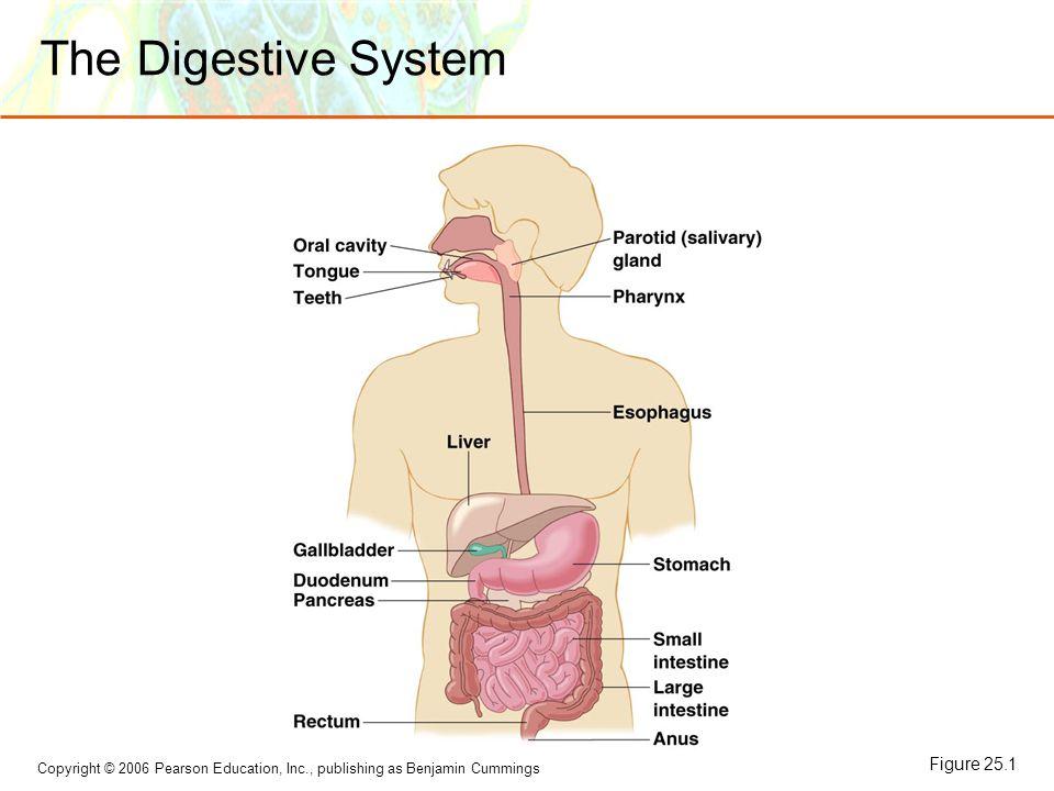 Copyright © 2006 Pearson Education, Inc., publishing as Benjamin Cummings The Digestive System Figure 25.1