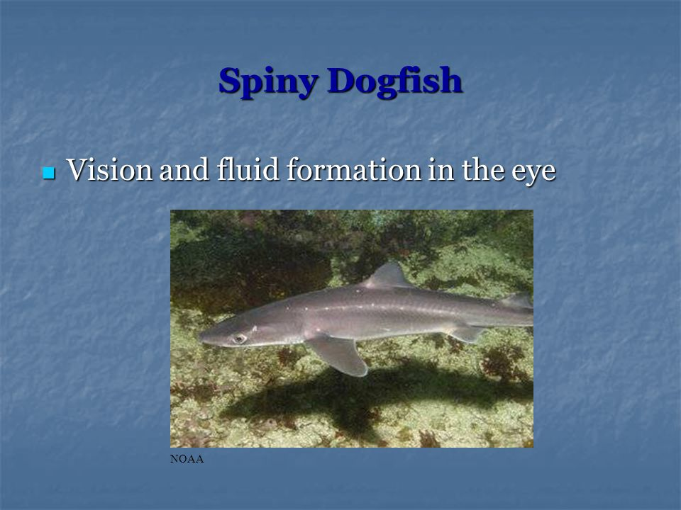Spiny Dogfish Vision and fluid formation in the eye Vision and fluid formation in the eye NOAA