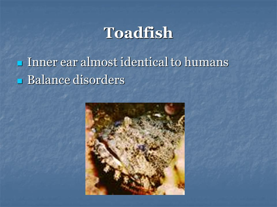 Toadfish Inner ear almost identical to humans Inner ear almost identical to humans Balance disorders Balance disorders