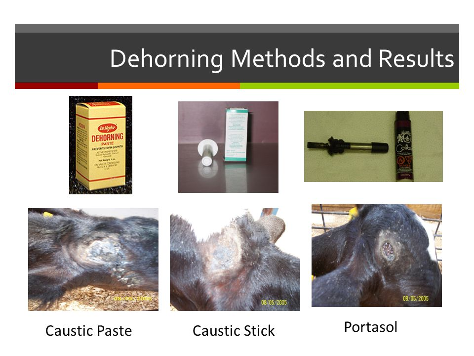 Dehorning Methods and Results Caustic PasteCaustic Stick Portasol