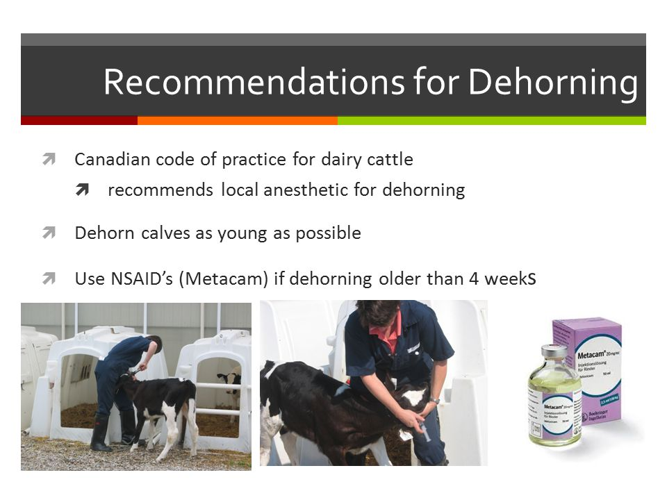 Recommendations for Dehorning  Canadian code of practice for dairy cattle  recommends local anesthetic for dehorning  Dehorn calves as young as possible  Use NSAID's (Metacam) if dehorning older than 4 week s