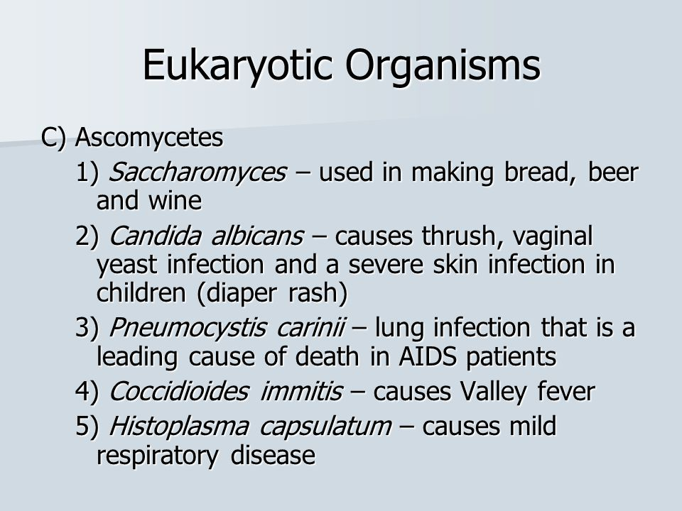 Eukaryotic Organisms C) Ascomycetes 1) Saccharomyces – used in making bread, beer and wine 2) Candida albicans – causes thrush, vaginal yeast infectio