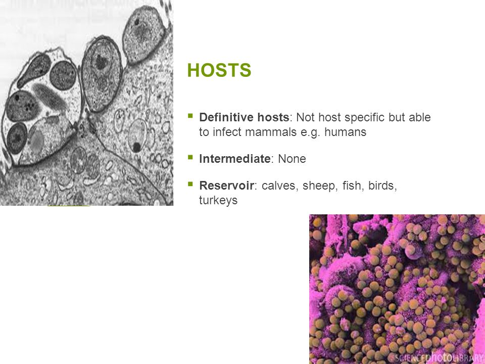 HOSTS  Definitive hosts: Not host specific but able to infect mammals e.g. humans  Intermediate: None  Reservoir: calves, sheep, fish, birds, turke