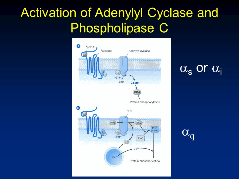 Activation of Adenylyl Cyclase and Phospholipase C  s or  i qq
