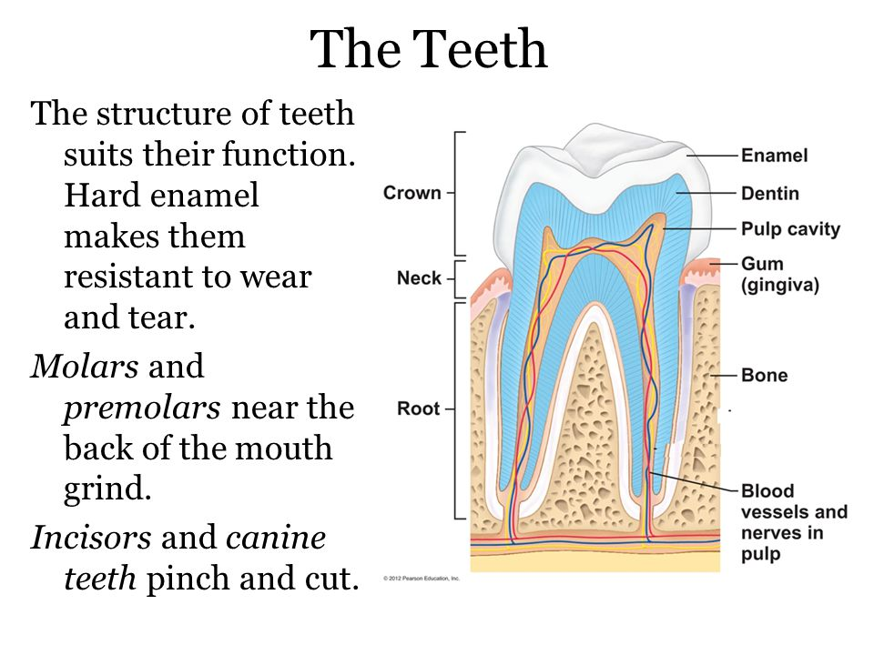 The Teeth The structure of teeth suits their function.