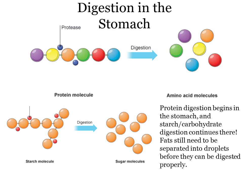 Digestion in the Stomach Protein digestion begins in the stomach, and starch/carbohydrate digestion continues there.