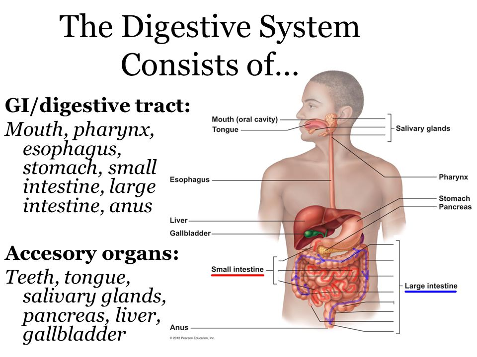 The Digestive System Consists of… GI/digestive tract: Mouth, pharynx, esophagus, stomach, small intestine, large intestine, anus Accesory organs: Teeth, tongue, salivary glands, pancreas, liver, gallbladder