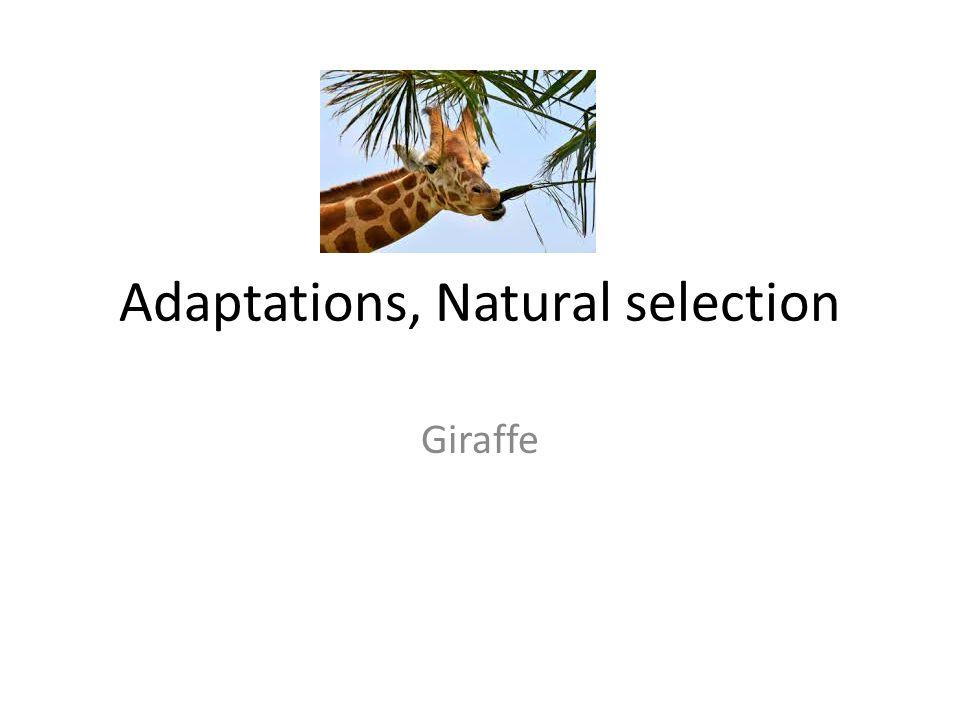Adaptations, Natural selection Giraffe