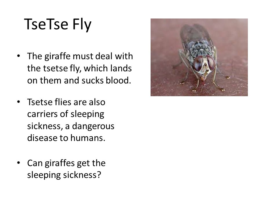 TseTse Fly The giraffe must deal with the tsetse fly, which lands on them and sucks blood.