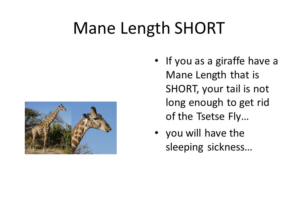 Mane Length SHORT If you as a giraffe have a Mane Length that is SHORT, your tail is not long enough to get rid of the Tsetse Fly… you will have the sleeping sickness…
