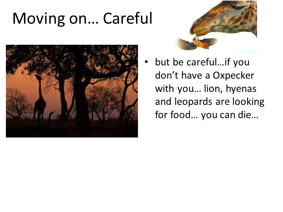 Moving on… Careful but be careful…if you don't have a Oxpecker with you… lion, hyenas and leopards are looking for food… you can die…