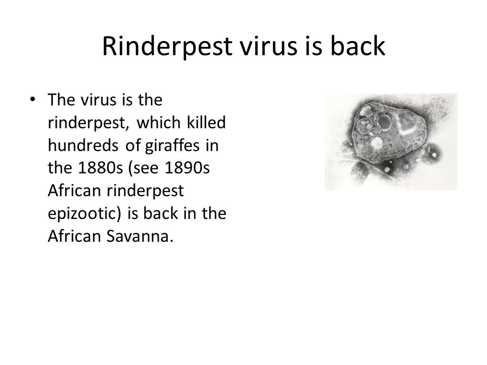 Rinderpest virus is back The virus is the rinderpest, which killed hundreds of giraffes in the 1880s (see 1890s African rinderpest epizootic) is back in the African Savanna.