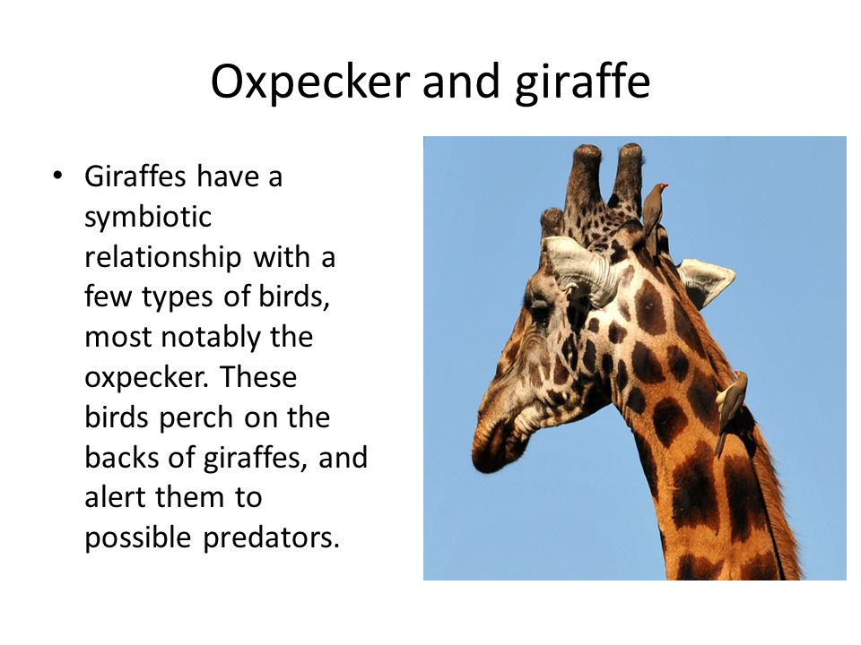 Play rock paper scissors to see if you get an Oxpecker.
