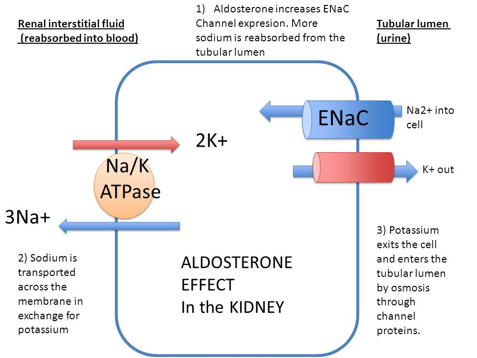 2K+ Na/K ATPase 3Na+ Renal interstitial fluid (reabsorbed into blood) Tubular lumen (urine) Na2+ into cell K+ out ENaC 1)Aldosterone increases ENaC Ch
