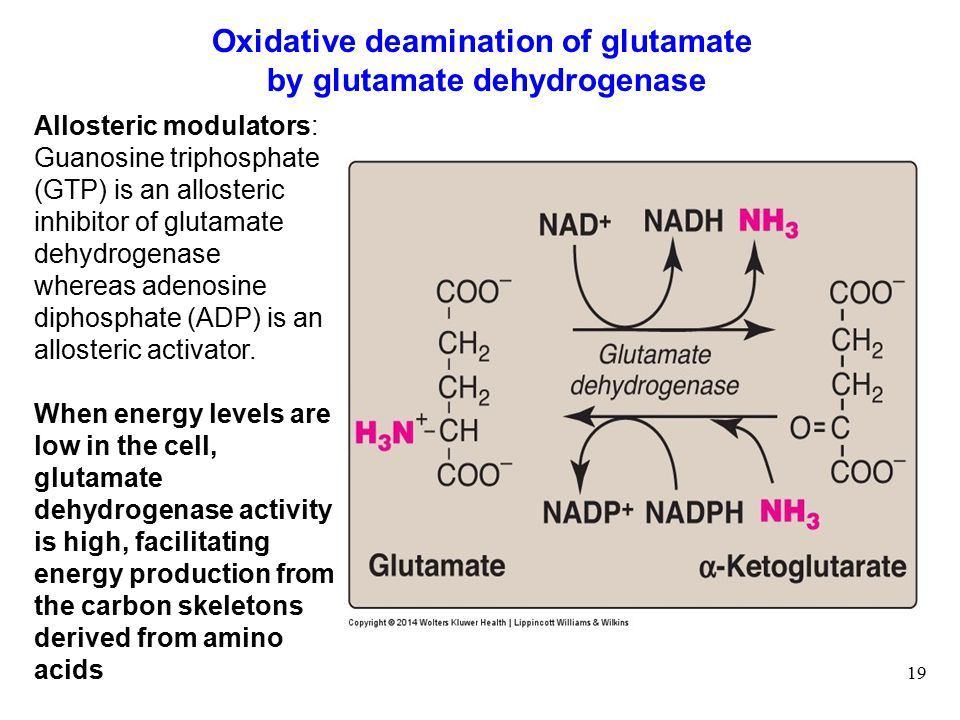 19 Oxidative deamination of glutamate by glutamate dehydrogenase Allosteric modulators: Guanosine triphosphate (GTP) is an allosteric inhibitor of glutamate dehydrogenase whereas adenosine diphosphate (ADP) is an allosteric activator.