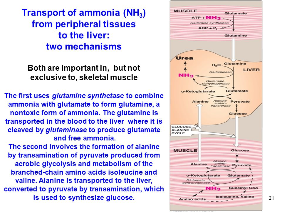 21 Transport of ammonia (NH 3 ) from peripheral tissues to the liver: two mechanisms Both are important in, but not exclusive to, skeletal muscle The first uses glutamine synthetase to combine ammonia with glutamate to form glutamine, a nontoxic form of ammonia.