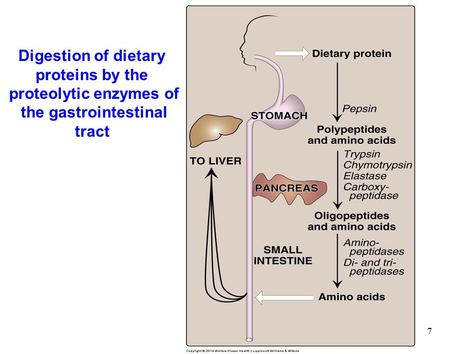 8 Cleavage of dietary protein in the small intestine by pancreatic proteases