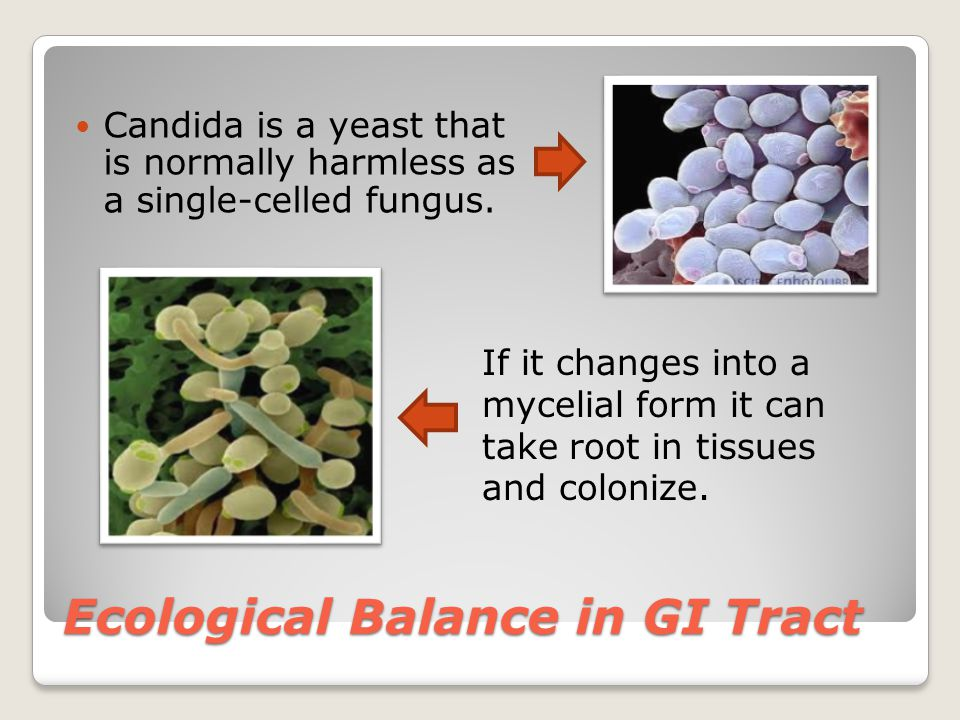 Ecological Balance in GI Tract Candida is a yeast that is normally harmless as a single-celled fungus.