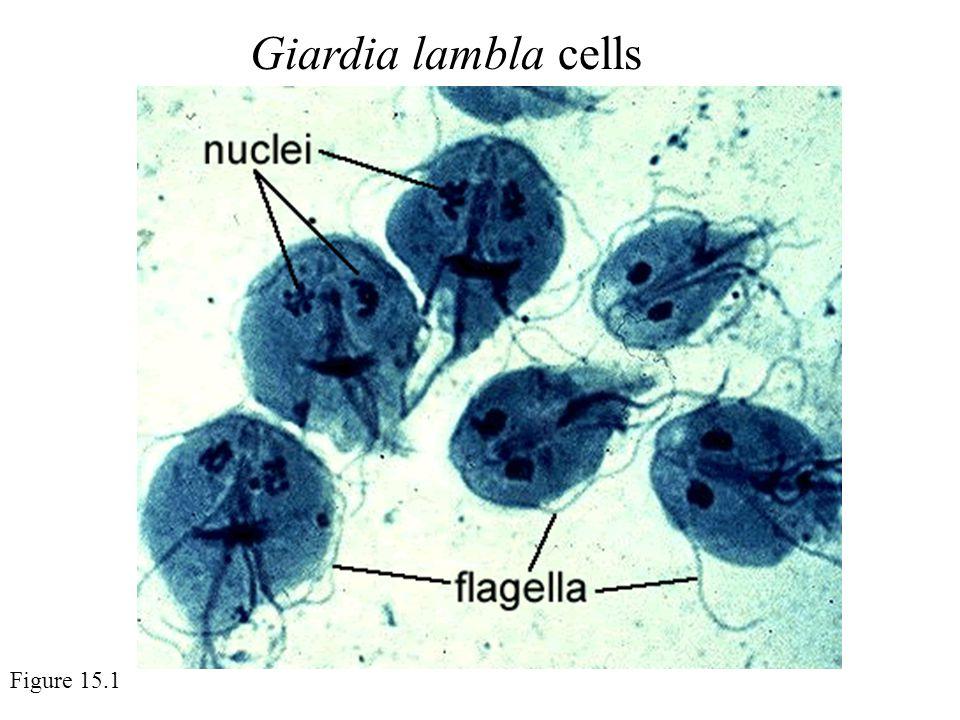 Giardia lambla cells Figure 15.1
