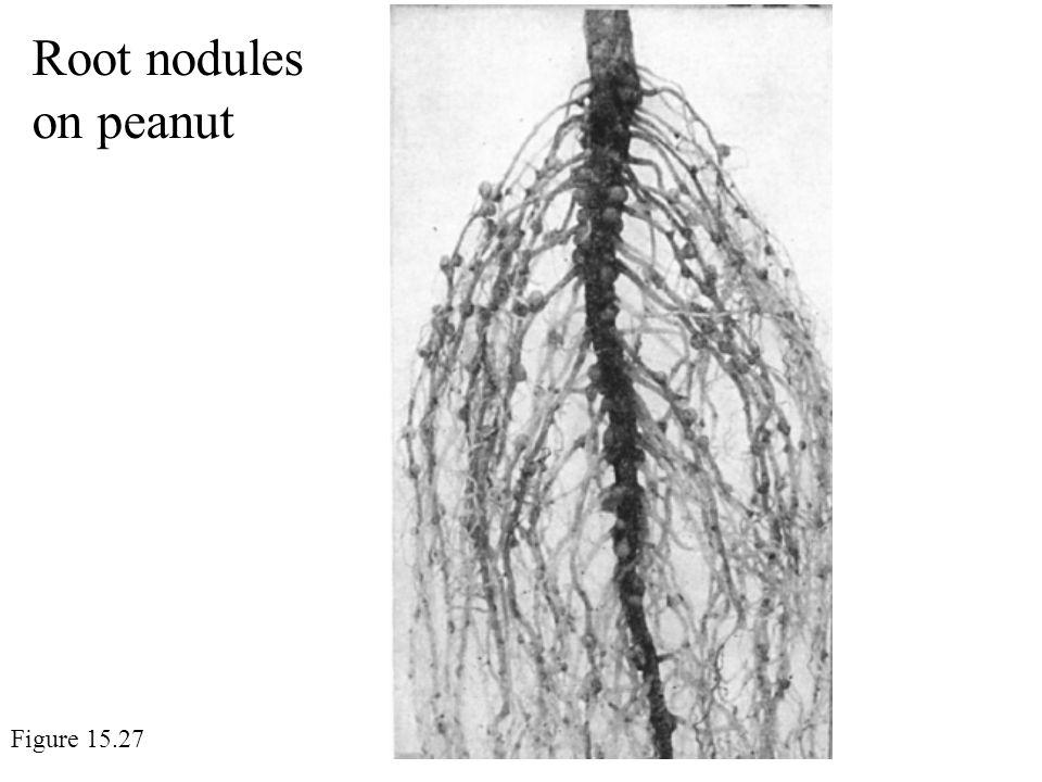 Root nodules on peanut Figure 15.27