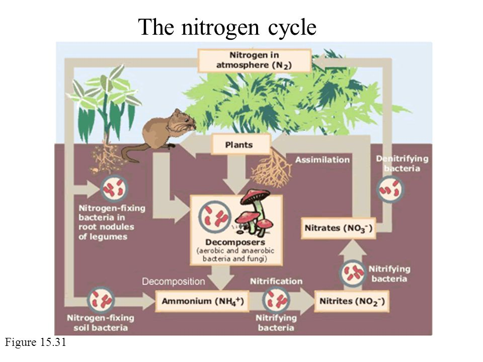 The nitrogen cycle Figure 15.31