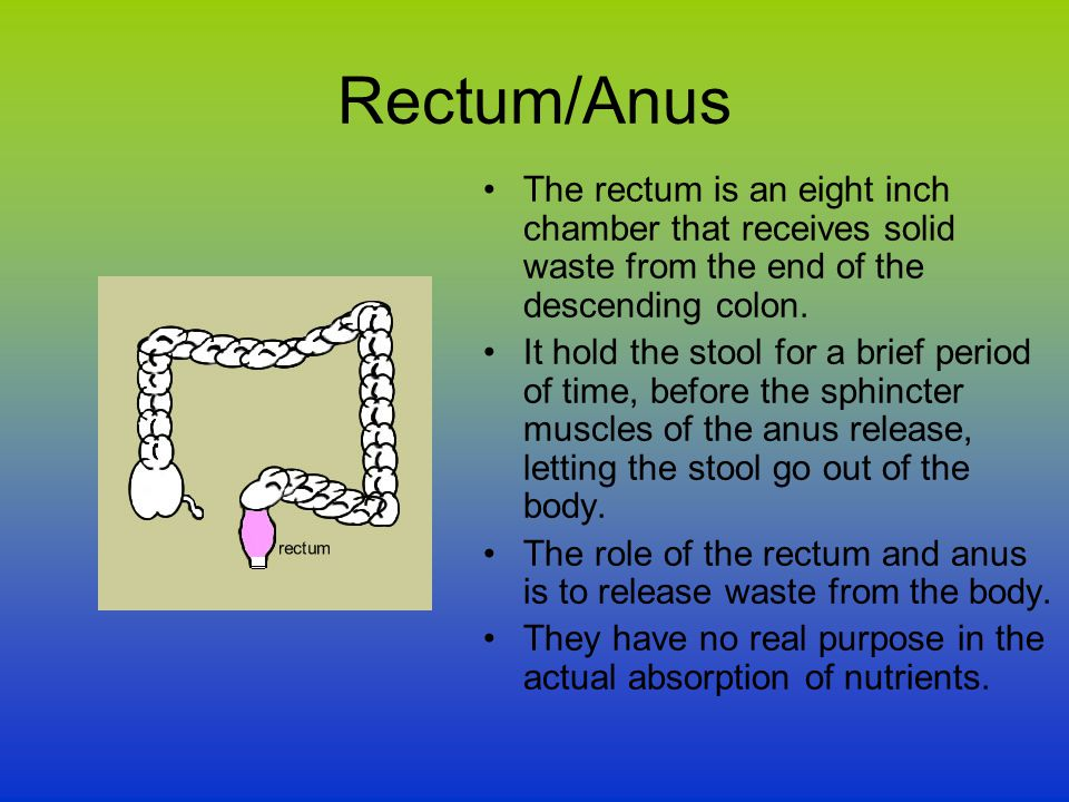 Rectum/Anus The rectum is an eight inch chamber that receives solid waste from the end of the descending colon. It hold the stool for a brief period o