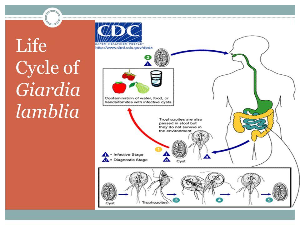 Life Cycle of Giardia lamblia