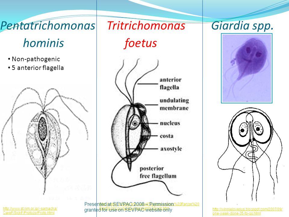 Pentatrichomonas Tritrichomonas Giardia spp. hominis foetus http://www.st.rim.or.jp/~samacha/ CareF/SickF/Protozo/Proto.html Non-pathogenic 5 anterior