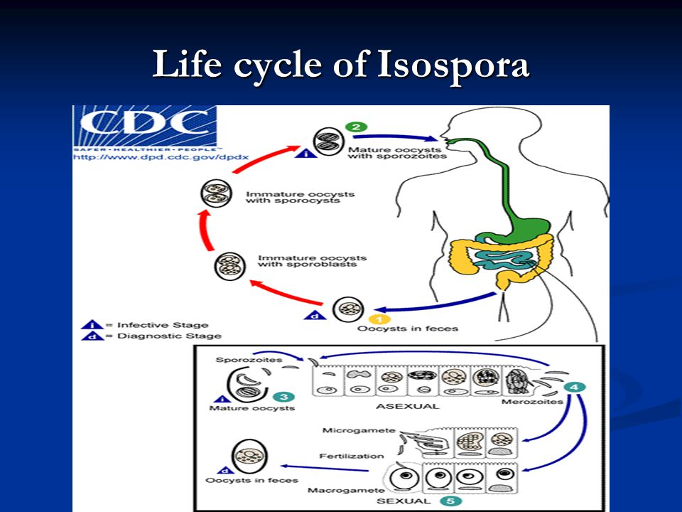 Life cycle of Isospora