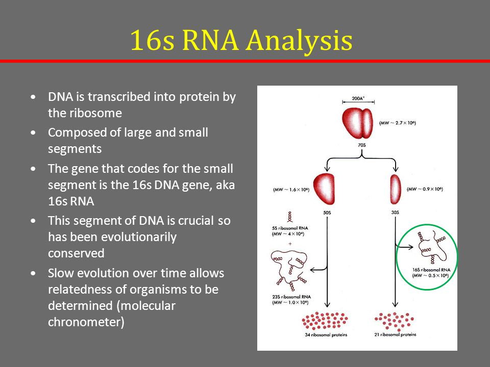 16s RNA Analysis DNA is transcribed into protein by the ribosome Composed of large and small segments The gene that codes for the small segment is the 16s DNA gene, aka 16s RNA This segment of DNA is crucial so has been evolutionarily conserved Slow evolution over time allows relatedness of organisms to be determined (molecular chronometer)
