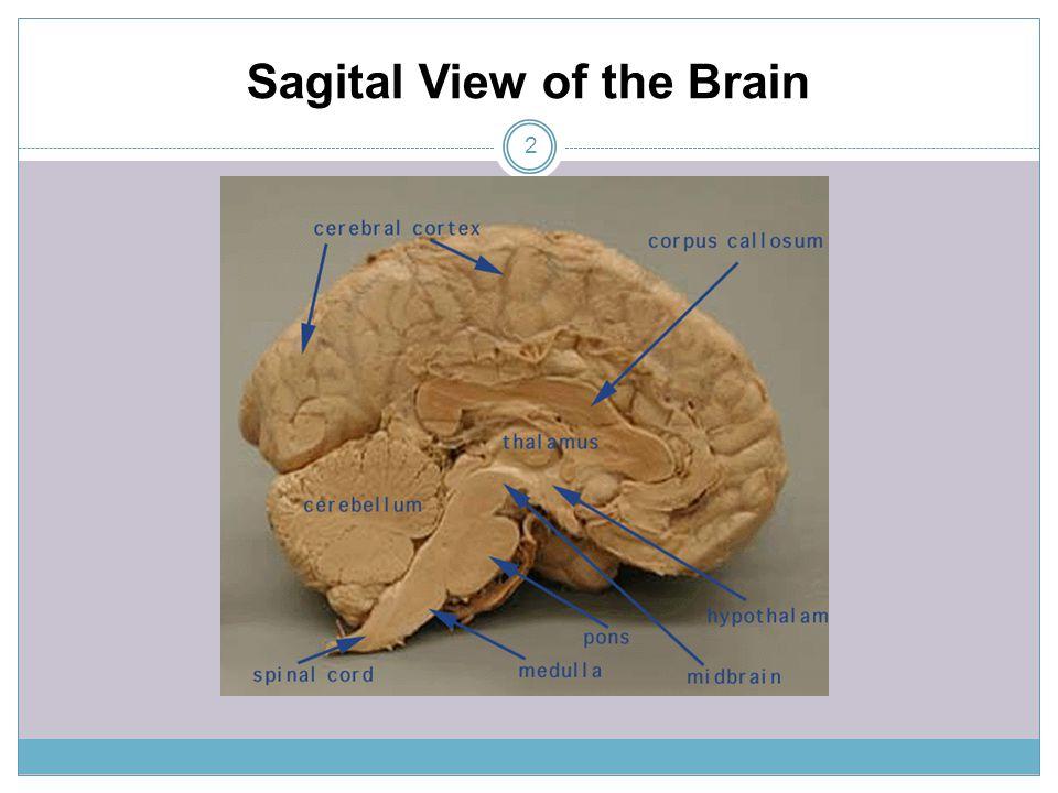 Sagital View of the Brain 2